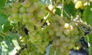 Виноград Восторг - фото, описание, характеристики сортов. Посадка и уход. Отзывы