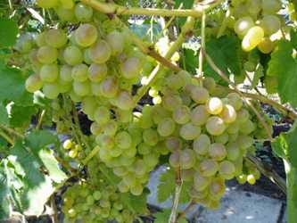 Описание винограда сорта Восторг черный, красный и белый