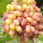 Виноград Юбилей Новочеркасска — ранний, морозостойкий, урожайный сорт!