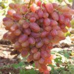 Виноград Преображение — ранний, сочный, крупный сорт!
