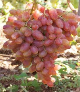 Виноград Преображение - описание сорта с фото, посадка и уход