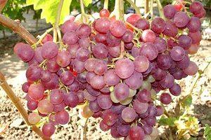 Виноград Ливия - описание сорта с фото, посадка и уход, отзывы