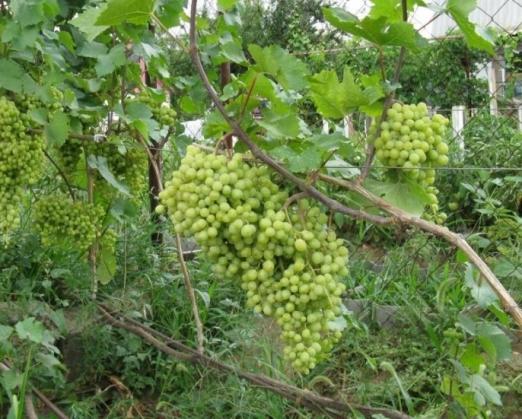 Описание сорта, посадка винограда
