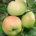 Яблоня Богатырь — крупный и высокоурожайный сорт!