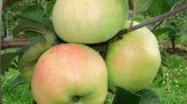 Яблоня Богатырь - описание сорта с фото, посадка и уход, отзывы