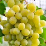 Виноград Адлер — скороспелый и морозостойкий сорт!