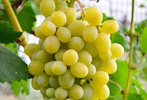 Виноград Адлер - описание сорта с фото, отзывы, посадка и уход