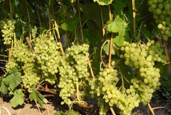 Уход за виноградом Алёшенькин