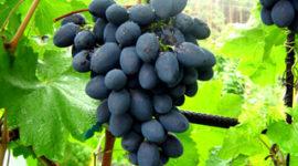 Виноград Кодрянка - описание сорта с фото, посадка и уход