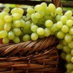 Виноград Кеша — среднеспелый морозостойкий сорт!