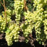 Виноград Лора (Флора) — ранний, сладкий, урожайный!