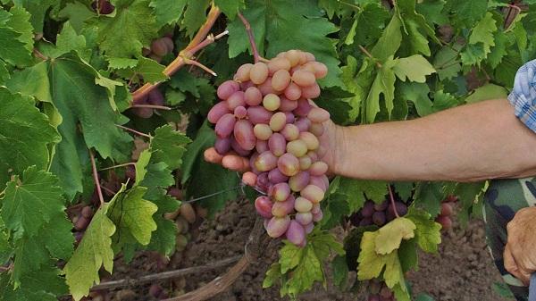 Достоинства винограда Преображение