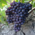Виноград Мускат — высокоурожайные, сладкие сорта!
