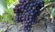 Виноград Мускат - описание сорта с фото, посадка и уход