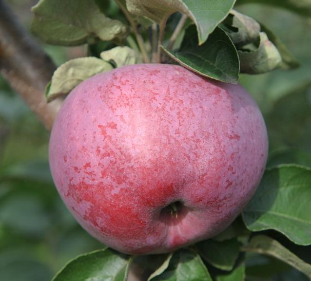 Яблоня подарок графскому или