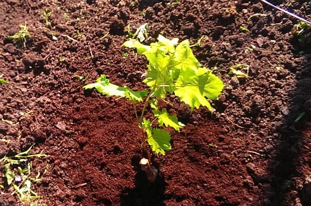 Уход за виноградом Преображение