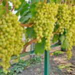 Виноград Алёшенькин — ранний, сладкий, морозостойкий сорт!