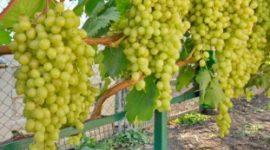 Виноград Алёшенькин: описание сорта с фото, посадка и уход, отзывы