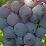 Виноград Кардинал — крупный, мускатный и ранний сорт!