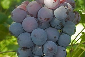 Виноград Кардинал - описание сорта с фото, посадка и уход, отзывы