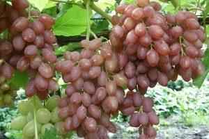 Виноград Кишмиш - описание сорта с фото, отзывы и уход