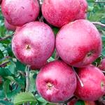 Яблоня Подарок Графскому — сильнорослый и ароматный сорт!