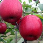 Яблоня Вишневое — высокоурожайный и скороспелый сорт!