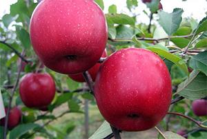 Яблоня Вишневое - описание сорта с фото, посадка и уход, отзывы