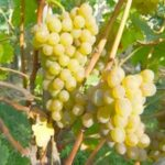 Виноград Дружба — универсальный и ранний сорт!