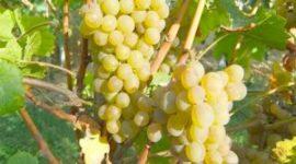 Виноград Дружба - описание сорта с фото, посадка и уход