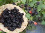 Ежевика Рубен — ремонтантный, высокоурожайный сорт!