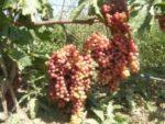 Виноград Велес — урожайный, мускатный и скороспелый сорт!