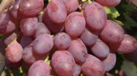 Виноград Виктория - описание сорта с фото, посадка и уход, отзывы