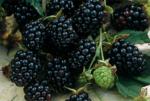 Ежевика Честер — высокоурожайный и морозоустойчивый сорт!