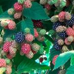Ежевика Торнфри — кисло-сладкий, неприхотливый, урожайный сорт!