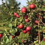 Яблоня Белорусское сладкое — морозостойкий и крупный сорт!