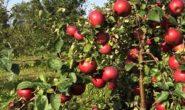 Яблоня Белорусское сладкое - описание сорта с фото, посадка и уход
