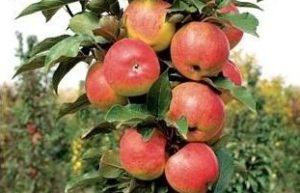 Яблоня колоновидная Васюган - описание сорта с фото, посадка, уход