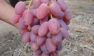 Виноград Виктор - описание сорта с фото, посадка и уход, отзывы