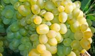 Виноград Супер Экстра - описание сорта с фото, посадка и уход