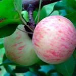 Яблоня Грушовка Московская — сочный и ароматный сорт!