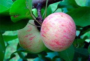 """Выращивание яблони """"Московская грушовка"""" в вашем саду"""
