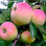 Яблоня Имрус — сочный, ароматный, сладкий сорт!
