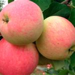 Яблоня Мечта — среднерослый и сочный сорт!