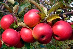 Яблоня Заветное - описание сорта с фото, отзывы, посадка и уход