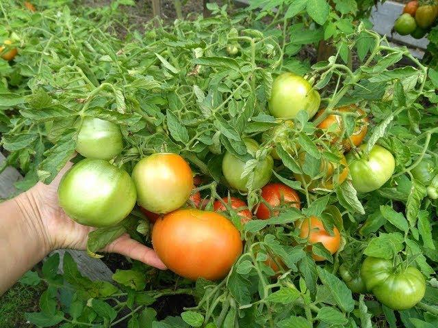 Посадка и уход помидора