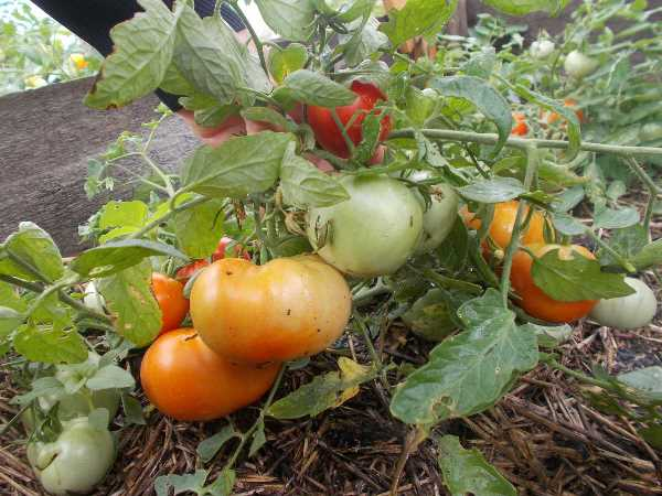 Отзывы садоводов, кто сажал