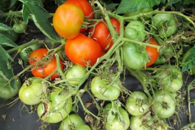 Особенности выращивания - посадка и уход