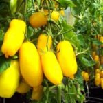 Томат Банановые ноги — характеристика и описание сорта