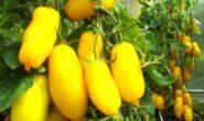 Томат Банановые ноги - характеристика и описание сорта